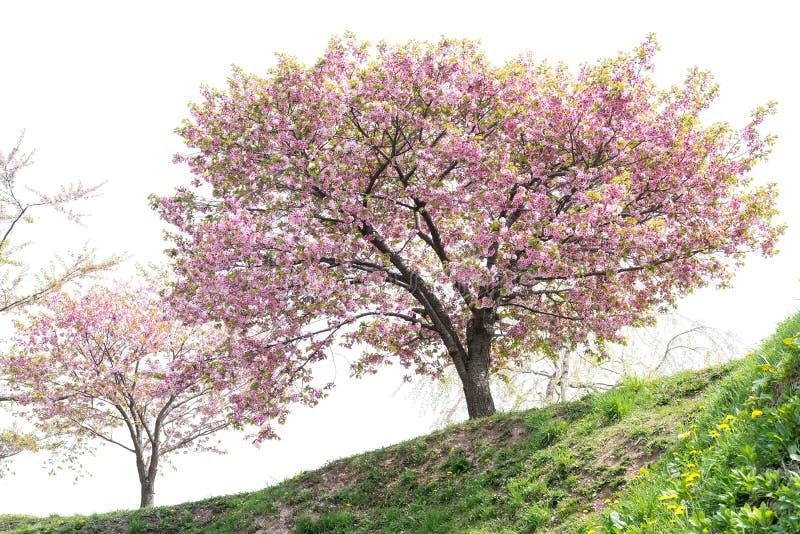Träd för körsbärsröd blomning med vit himmelbakgrund royaltyfri fotografi