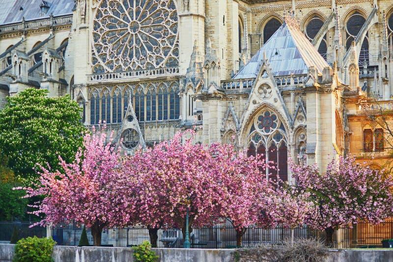 Träd för körsbärsröd blomning nära den Notre-Dame domkyrkan i Paris, Frankrike royaltyfria foton