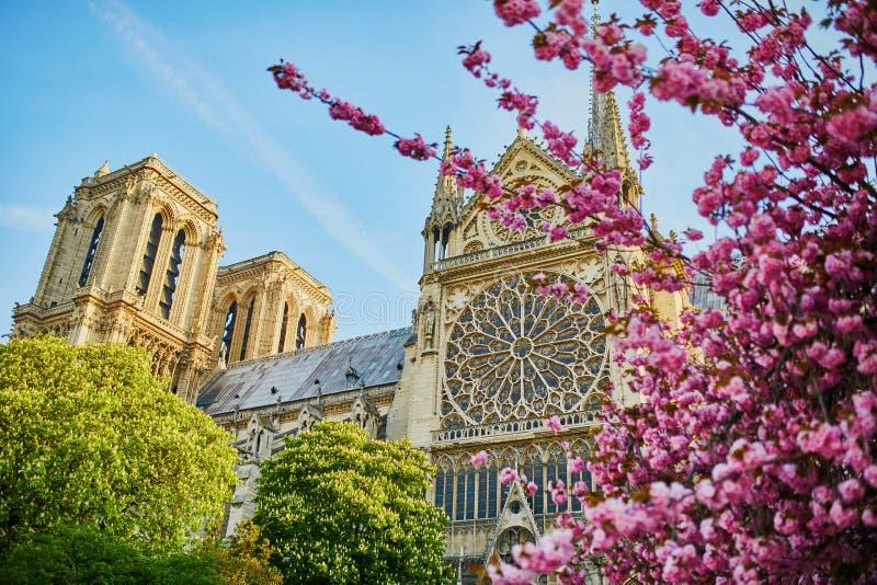 Träd för körsbärsröd blomning nära den Notre-Dame domkyrkan i Paris, Frankrike arkivfoto