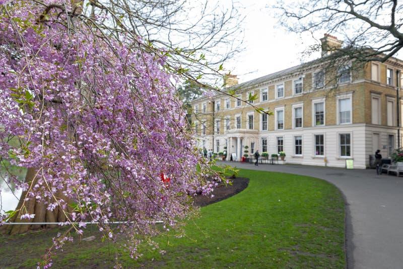 Träd för körsbärsröd blomning på Kew trädgårdar, en botanisk trädgård i sydvästliga London, England royaltyfria bilder