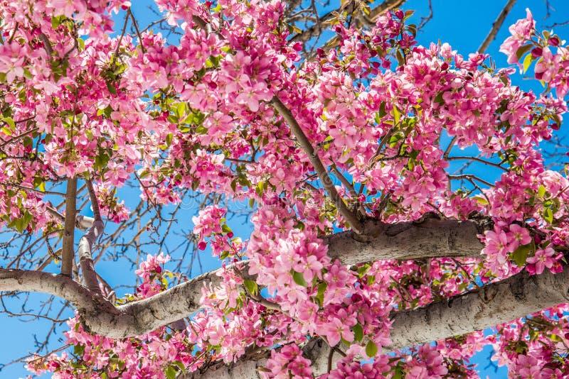 Träd för körsbärsröd blomning på rött vaggar kanjonöppet utrymme Colorado Spri royaltyfri fotografi