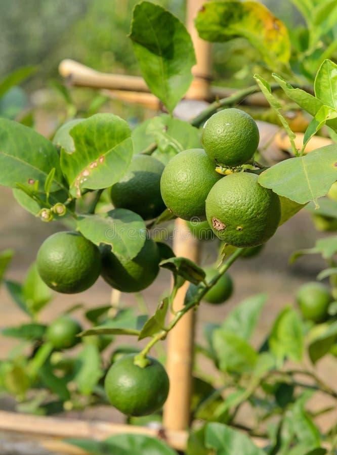 Träd för limefruktgräsplan royaltyfri bild