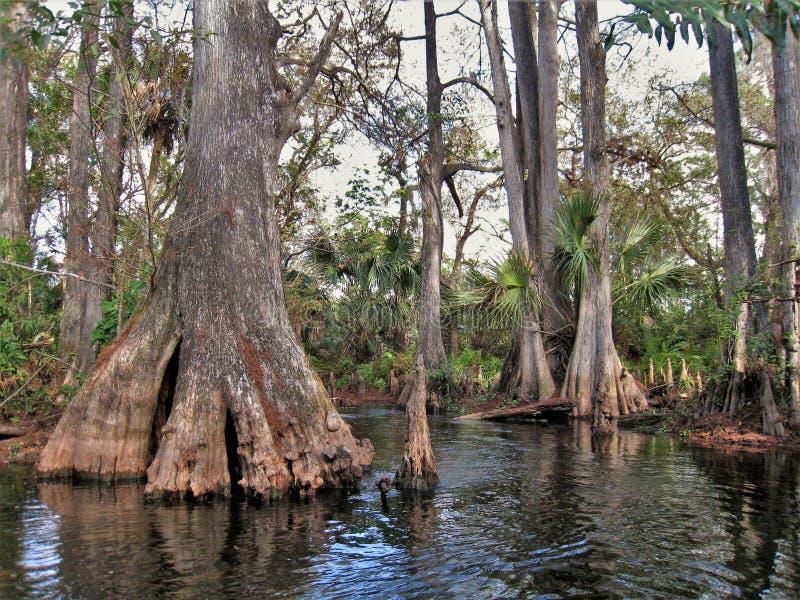 Träd för Loxahatchee flodcypress arkivfoto