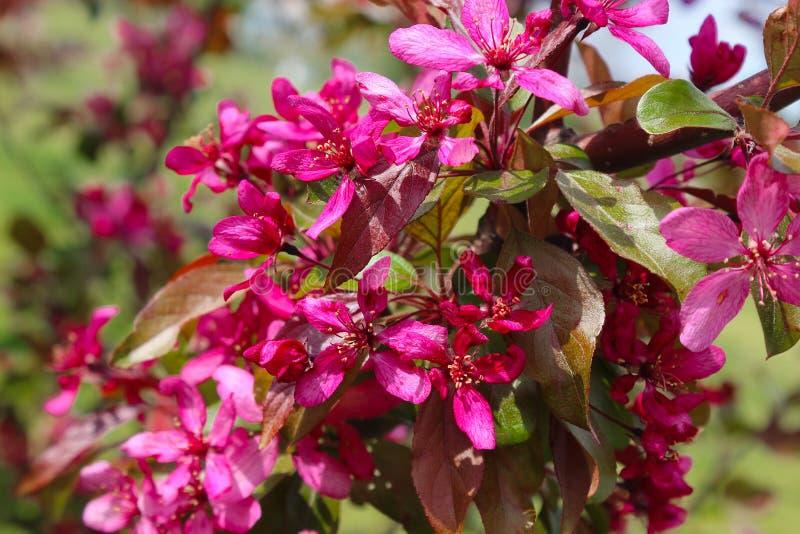 Träd för Malusroyaltyäpple royaltyfri fotografi