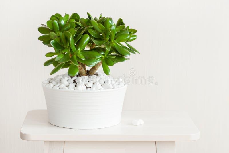 Träd för pengar för växt för jade för HouseplantCrassulaovata i den vita krukan fotografering för bildbyråer
