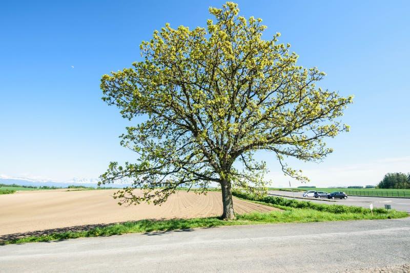 Träd för sju stjärnor arkivbild