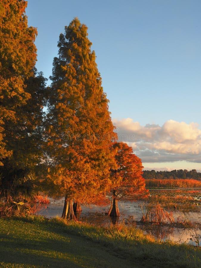 Träd för skallig cypress i nedgångfärger fotografering för bildbyråer