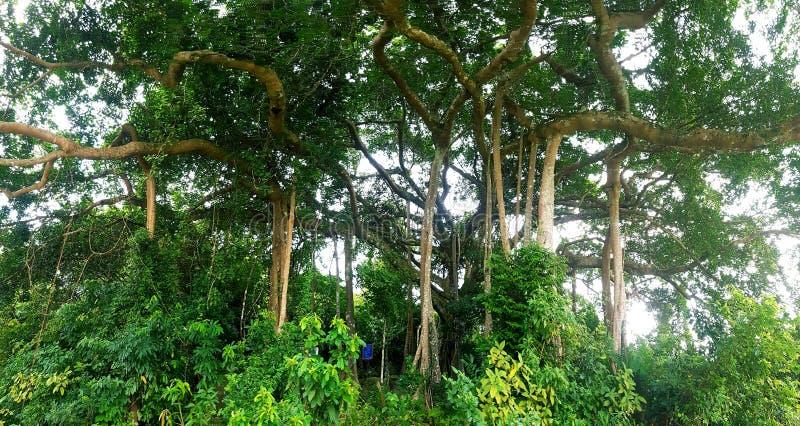 Träd för sonTra banyan royaltyfria foton