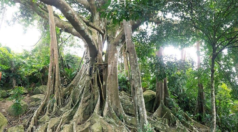 Träd för sonTra banyan fotografering för bildbyråer