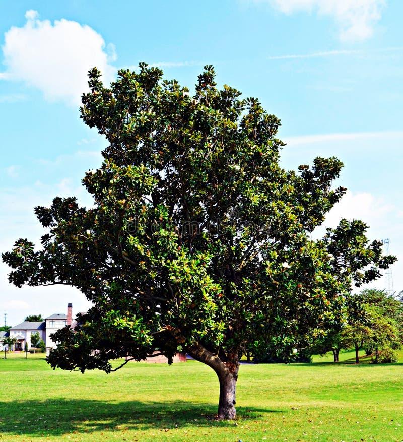 Träd för sydlig magnolia i Tennessee royaltyfri foto
