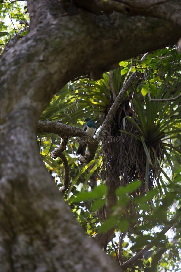 Träd för träduva i en skog i NZ royaltyfri fotografi
