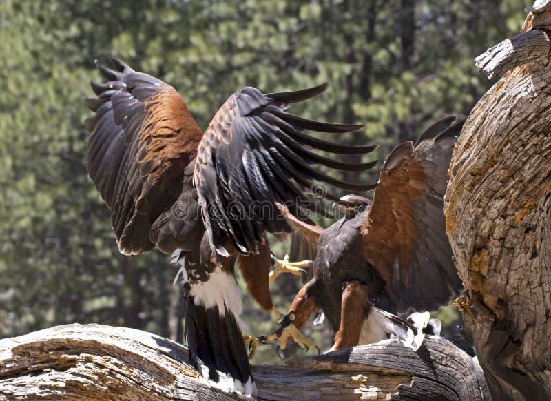 Träd för två Harris Hawks Birds Fighting On royaltyfri fotografi