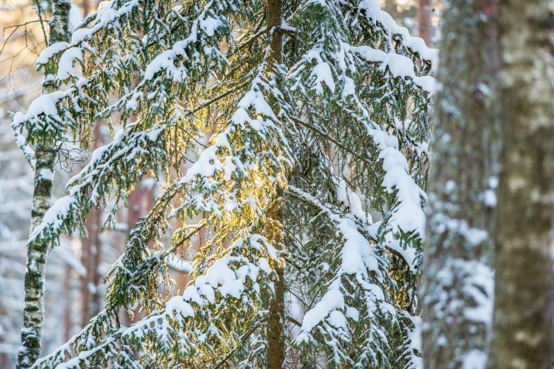 Träd för vintercloseupgran på orange ljus för soluppgång arkivfoton