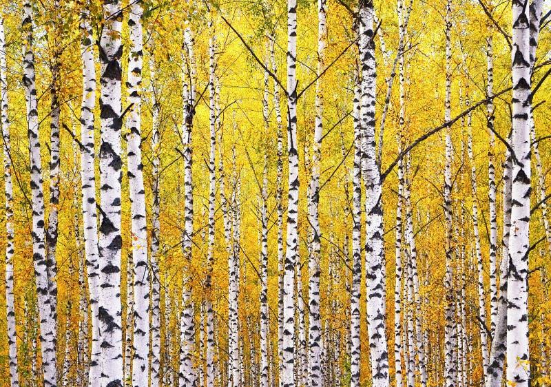 Träd för vit björk med guld- sidor i höstsäsong höstlig bakgrund Stammarna av björkträd med det vita skället fotografering för bildbyråer