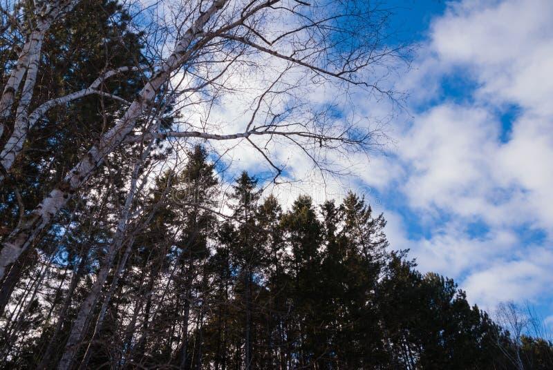 Träd för vit björk och högväxt sörjer träd med blå himmel royaltyfri bild
