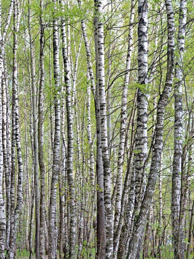 Träd för vit björk växer i björk oftare, bakgrund arkivbild