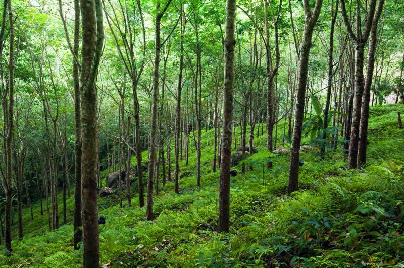 Träd gör grön naturbakgrund. Latexgummiträdkoloni arkivbild