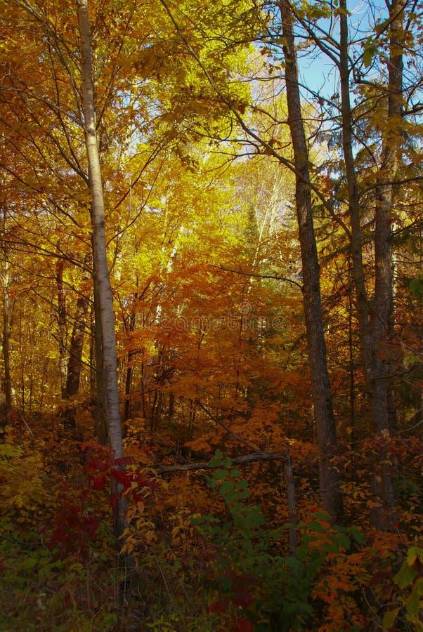 Träd i ändrande färg för höst till för apelsin, röda och några gröna sidor för guling, nära Hinckley Minnesota royaltyfri fotografi