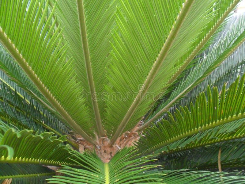 Träd i Bangladesh, it& x27; s-namnet är moneroje arkivbild