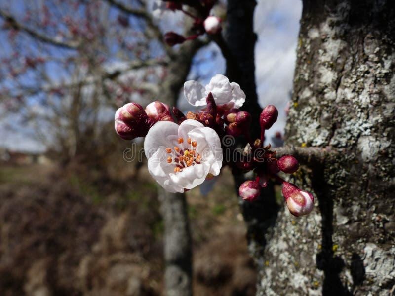 Träd i blom i vår fotografering för bildbyråer