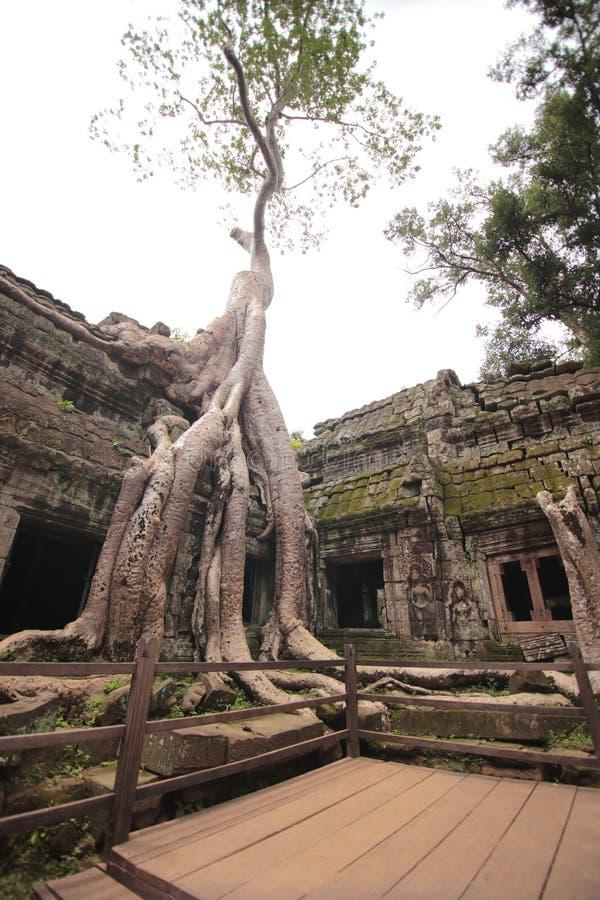 Träd i borggården, Ta Prohm, Angkor Wat, Cambodja fotografering för bildbyråer