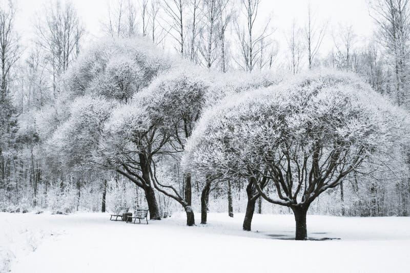Träd i det insnöat parkera Vinterlandskap, royaltyfri fotografi