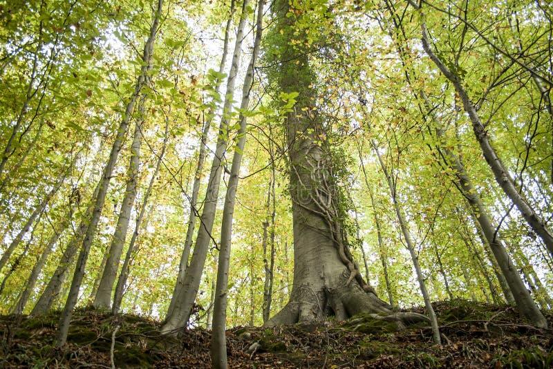 Träd i en höstskog arkivfoton