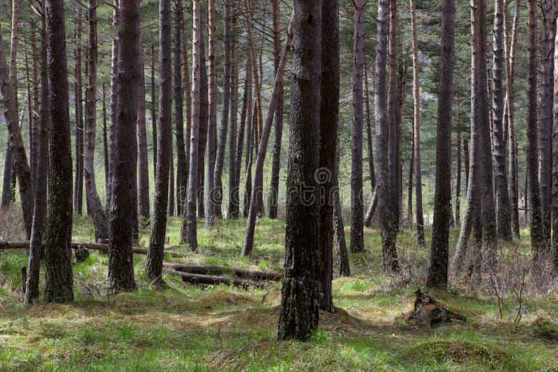 Träd i en tät pinjeskog royaltyfria bilder