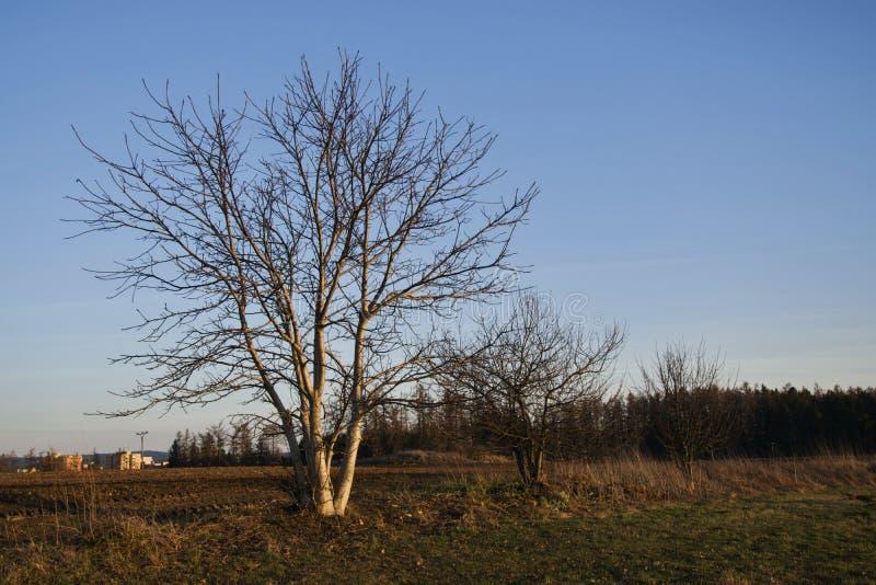 Träd i fältet på skymning arkivfoton