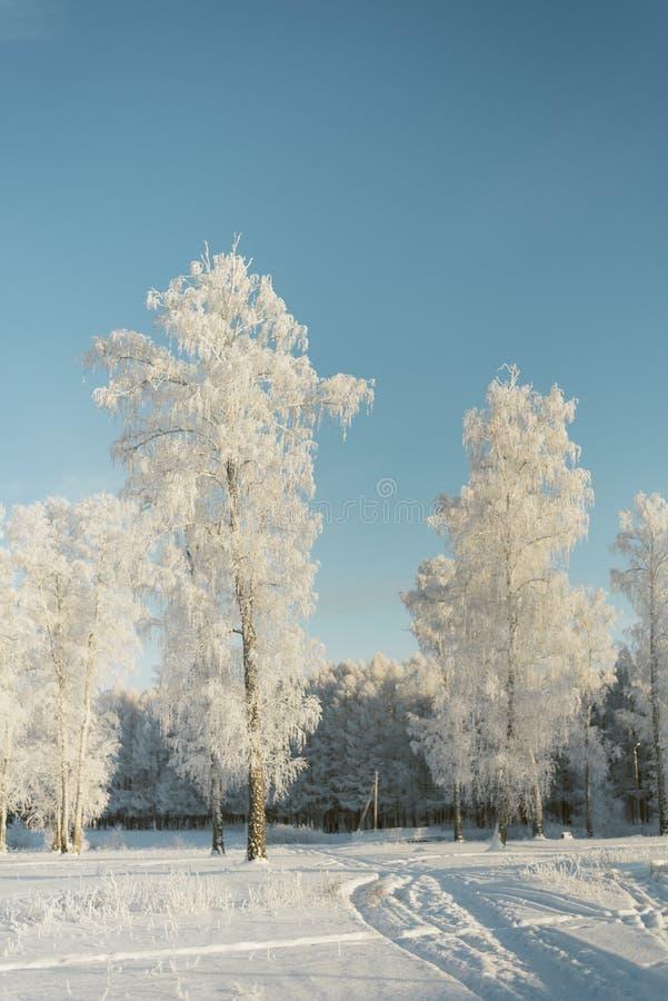 Träd i frost i ett fält i skoggranträden och sörjer täckt med snö arkivfoto