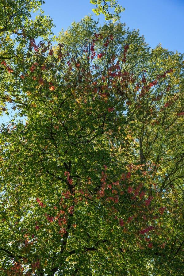 Träd i höstnedgångsäsong med röd gul färg för himmelgräsplan royaltyfri bild
