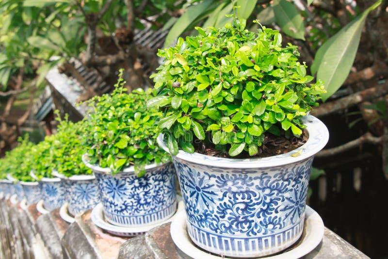 Träd i keramikkrukor royaltyfria bilder