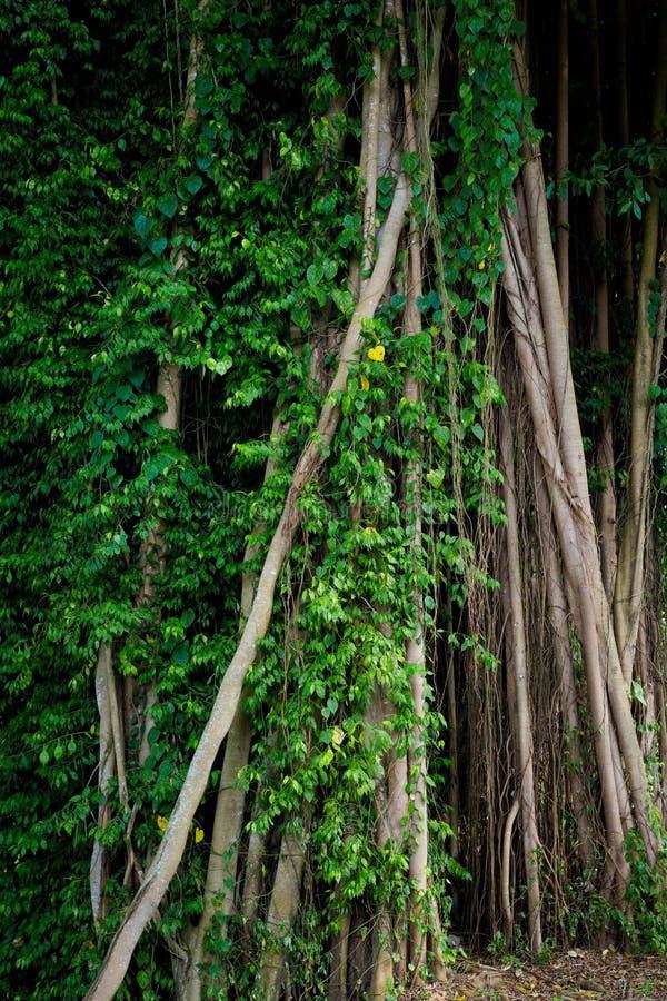 Träd i Kuala Kangsar Malaysia royaltyfri bild