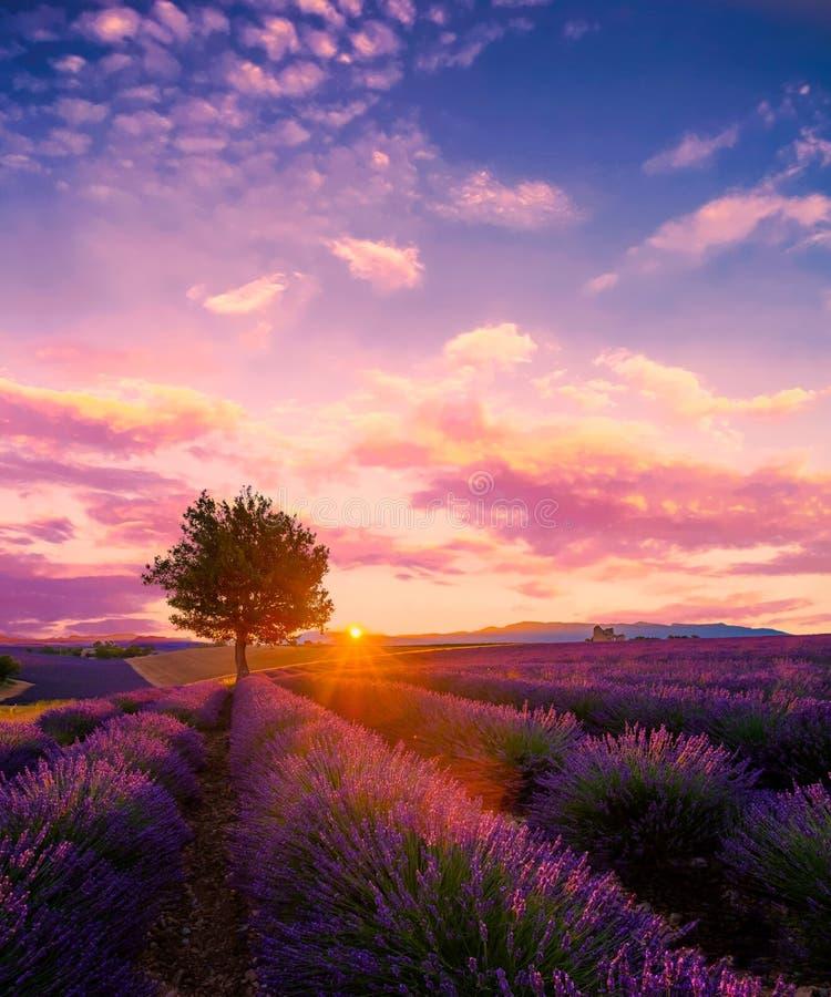 Träd i lavendelfält på solnedgången i Provence arkivbild