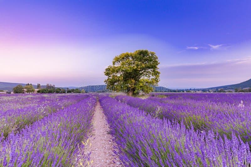 Träd i lavendelfält på solnedgången i Provence, Frankrike royaltyfri bild