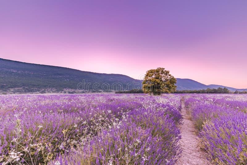 Träd i lavendelfält på solnedgången i Provence, Frankrike arkivbilder