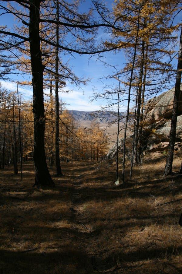 Träd i mongolisk nationalpark royaltyfria foton