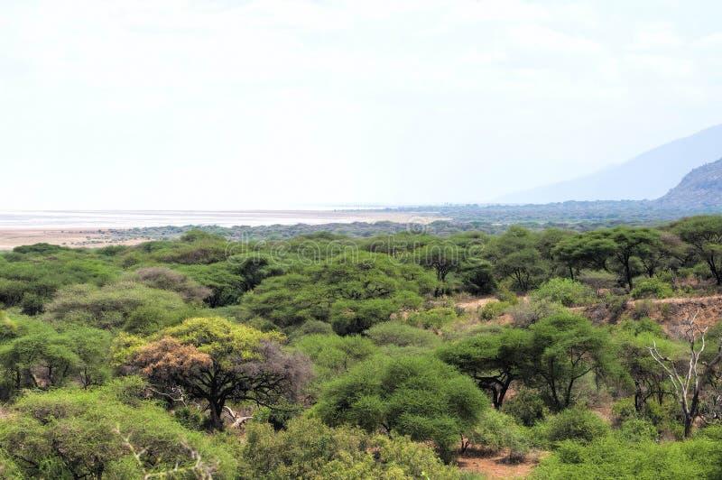 Träd i savann royaltyfria foton