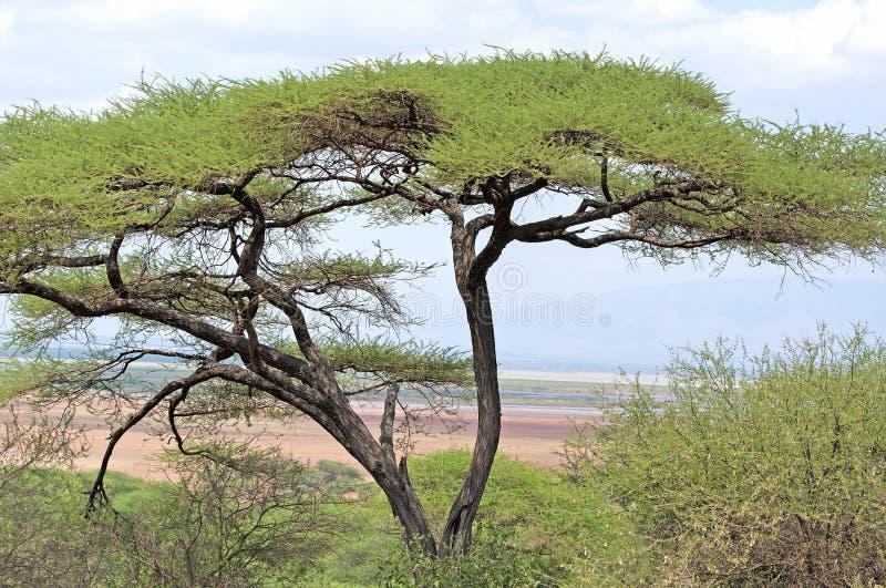 Träd i savann royaltyfri foto