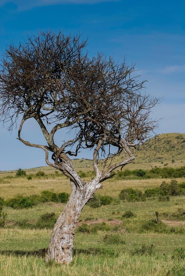 Träd i Savannah Maasai Mara National Reserve Kenya royaltyfri fotografi