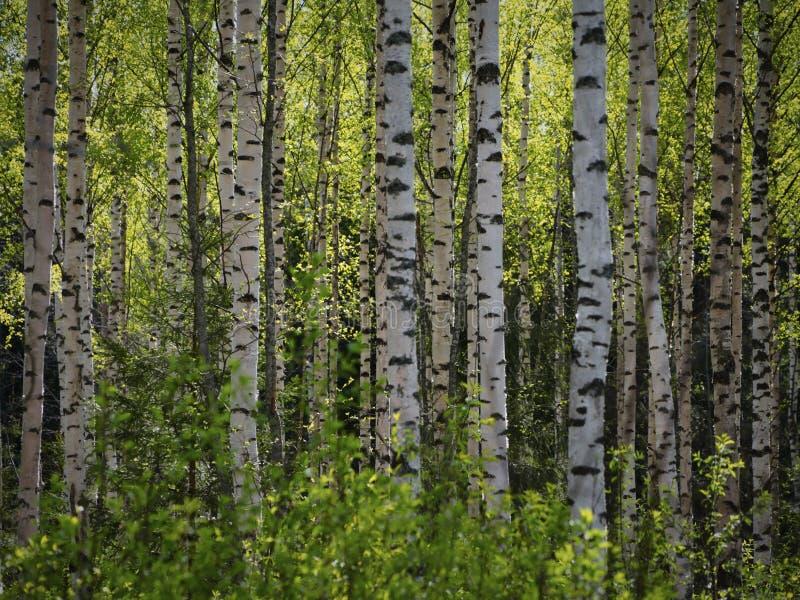 Träd i vårskogen arkivbild