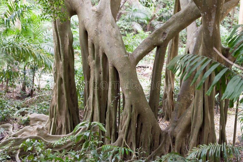 Träd i Welchman Hall Gully i Barbados Ö för karibiskt hav royaltyfri foto