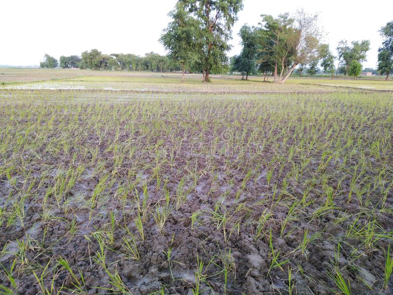 Träd Indien för växter för ris för skörd för vatten för Dhaan åkerbruka bruka ziriflod regniga royaltyfri bild