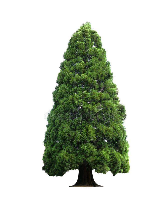 Träd isolerat på vit bakgrund vackra naturliga julgranar royaltyfria foton