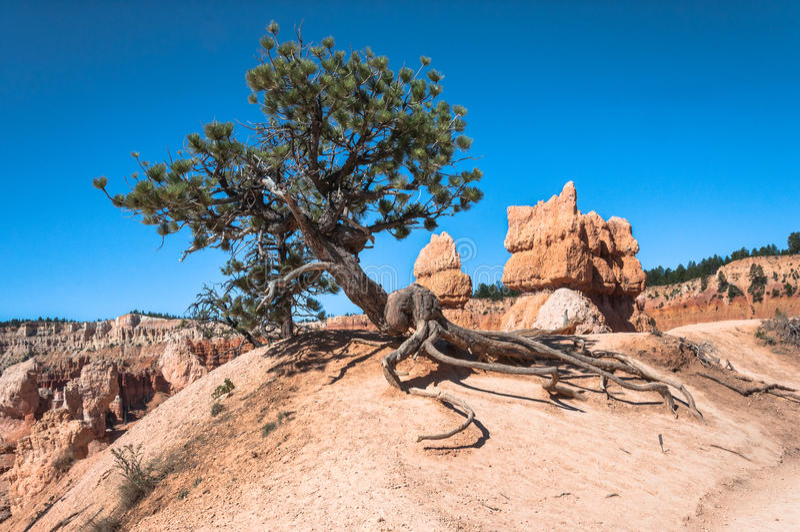 Träd längs hästslinga i Bryce Canyon National Park, Utah royaltyfria foton