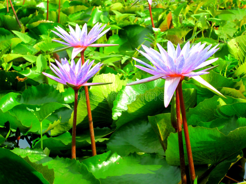 Träd Lotus23 arkivfoton
