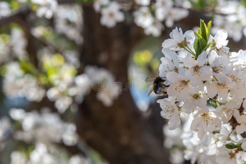 Träd med blommablomningar av plommonträdet i fältet arkivfoto