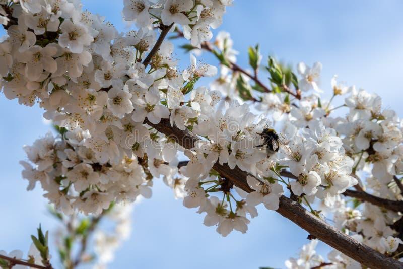 Träd med blommablomningar av plommonträdet i fältet fotografering för bildbyråer