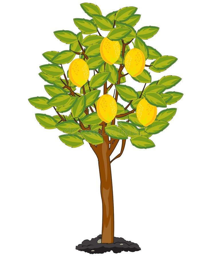 Träd med den mogna fruktcitronen i trädgård vektor illustrationer