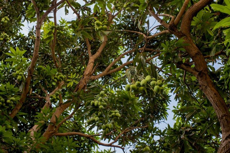 Träd med gröna mangofrukter royaltyfri bild